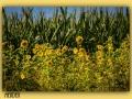 Menden Sonnenblumen 1